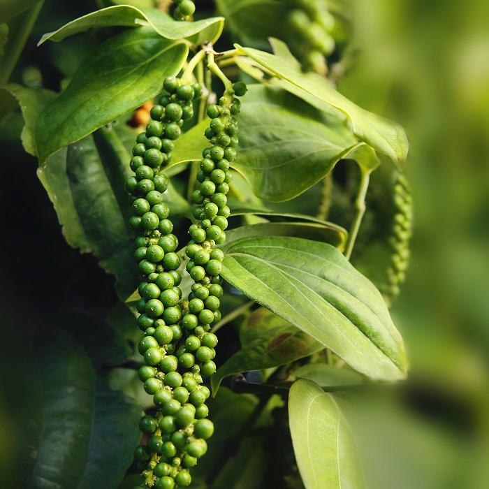 Black Pepper Seed Malaysia Sarawak Product 180g